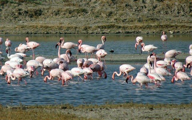 Lesser Flamingo in Kutch