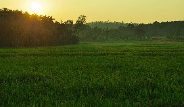 Rice in India