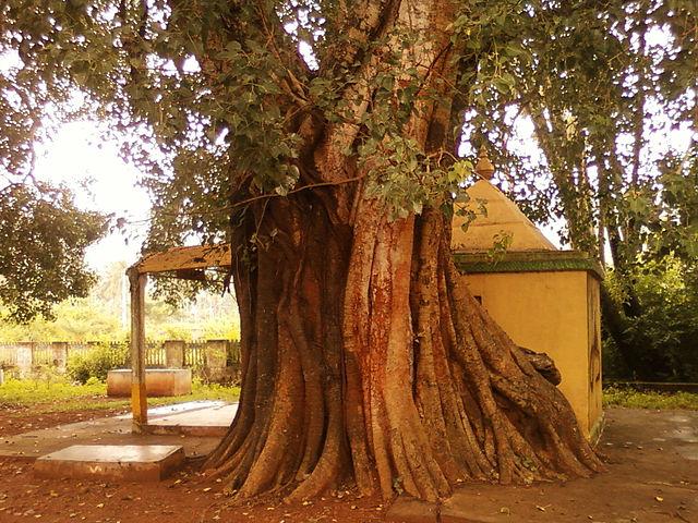 A peepal tree