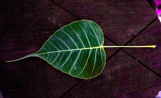 A peepal leaf