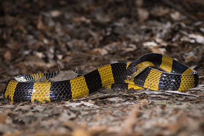 An image of Banded Krait, one of the longest venomous snakes in India