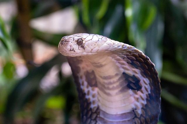 The hood of a Spectacled Cobra/Indian Cobra